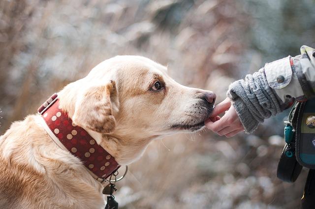 psí odměna