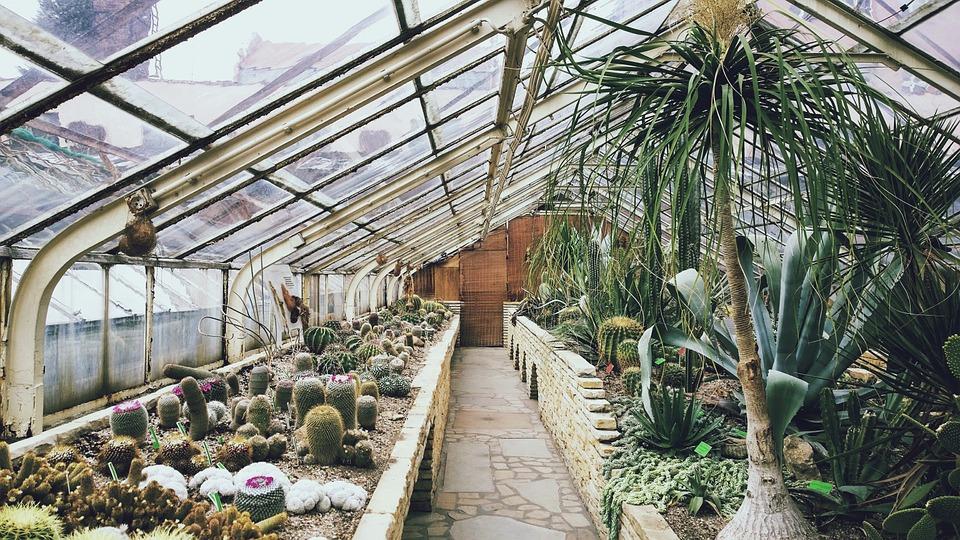 kaktusy ve skleníku